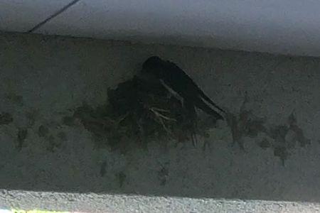 ツバメ 巣作り