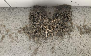 ツバメの巣 カラス
