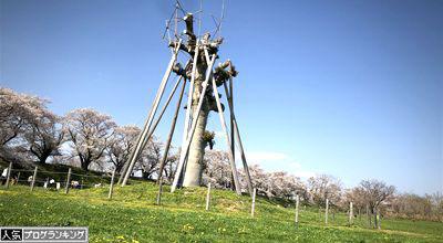 京都 八幡 背割堤 無料バーベキュー場
