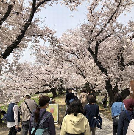 背割堤 桜のトンネル 満開