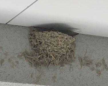 ツバメ 抱卵