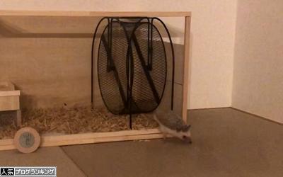 ハリネズミ 脱走